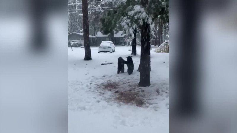 Двое медвежат борются друг с другом