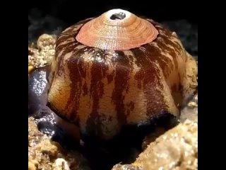 А вот этот моллюск имеет название  гигантская замочная скважина или Megathura crenulata.