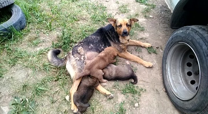 На автостоянке живет собачья семья: папа, мама,