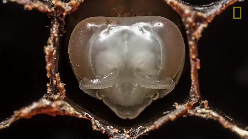 Amazing Time-Lapse_ Bees Hatch Before Your Eyes _ National Geographic
