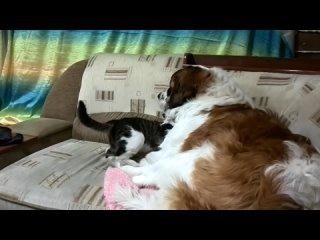 Кот пристаёт к собаке