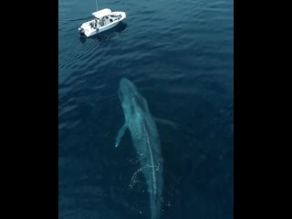 Голубые киты являются самыми крупными животными, когда-либо существовать на планете Земля.