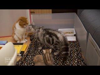 Реакция кота-младенцев в первый раз, когда они увидели своего отца