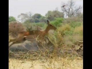 Эпичный прыжок леопарда на импалу.