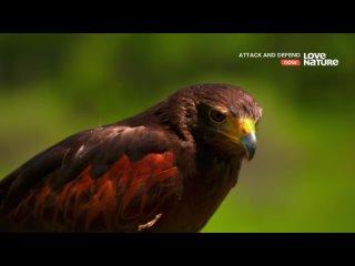 Атака и защита / Хищные птицы
