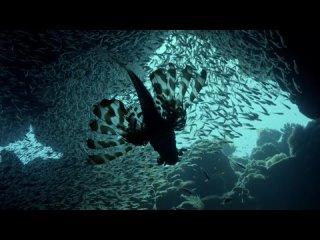 BBC: Охотники (Великобритания 2015) 4 серия ᴴᴰ ГОЛОД В МОРЕ (Океаны) Документальный фильм Режиссер Роб Салливан → BBC The Hunt