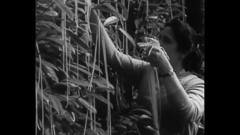 Урожай спагетти в швейцарском Тичино BBC