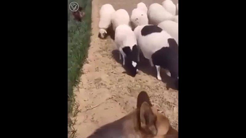 Умные собаки охраняют посевы от овец