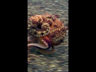 Иногда осьминоги ходят на двух щупальцах по морскому дну, и это выглядит довольно мило