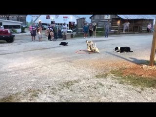 Пастушьи собаки демонстрируют своё мастерство