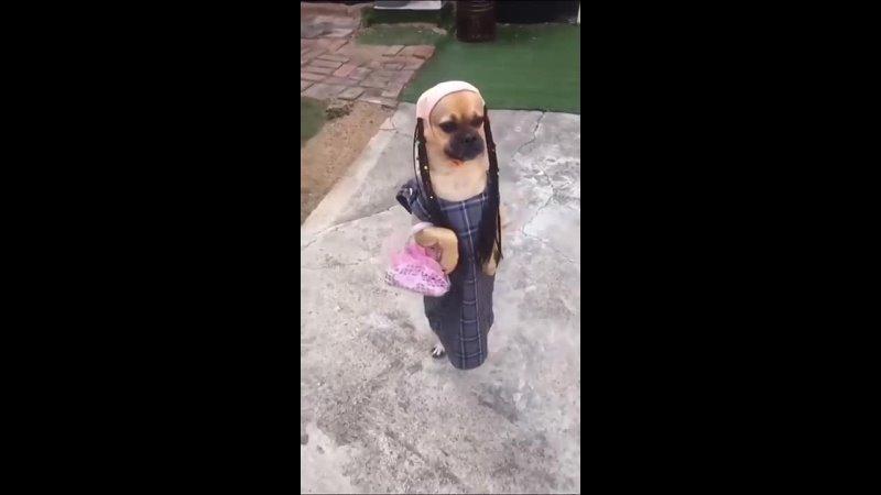Собачка в платье и с сумкой ходит на задних лапах.mp4
