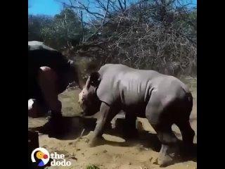Малыш носорог защищает маму