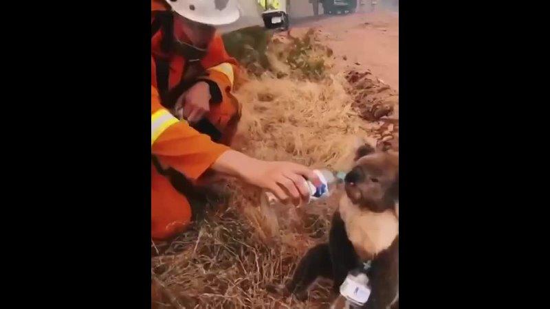 Пожарный поит водичкой коалу выжившую после пожара 🤗