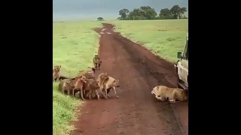 Львица отпугивает гиен своим грозным ревом