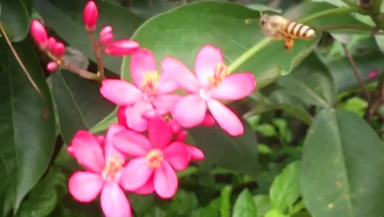 [MP4 4K] Music with nature _ Industrious bees 勤勞的蜜蜂