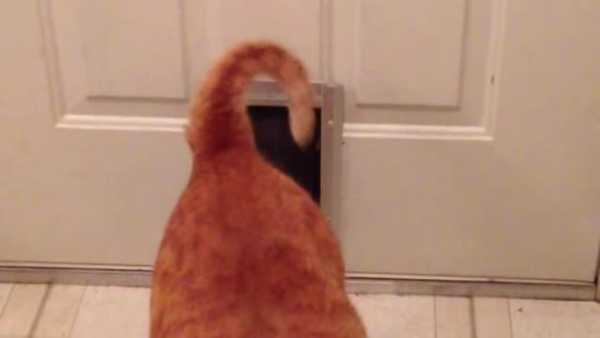 Fat Cat Squeezes Through Small Doggie Door