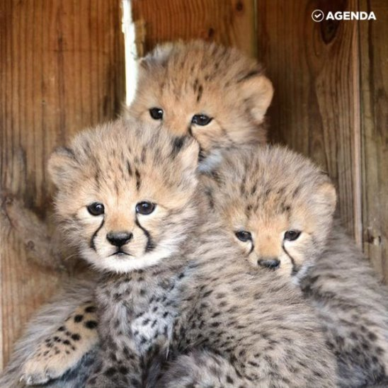 Рождение очаровательных гепардов