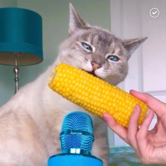 Кот грызёт кукурузу