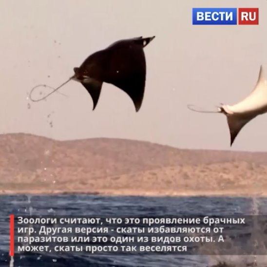 Мобулы – представители семейства орляковых скатов, они умеют летать, но это не точно. Удивительный природный мир!