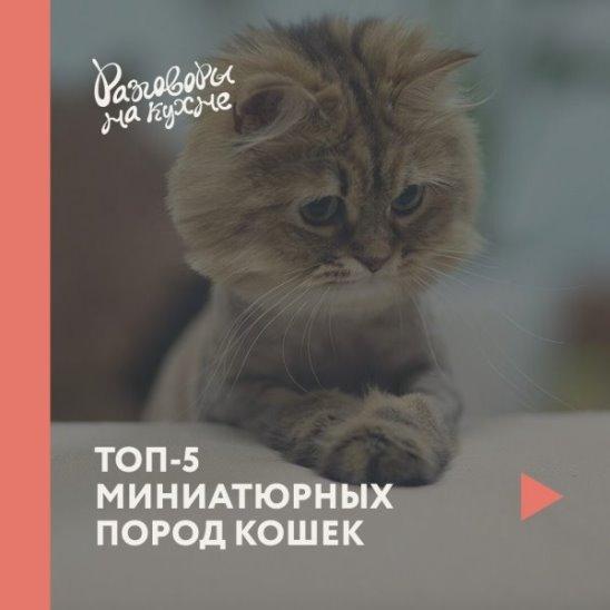 Топ-5 миниатюрных пород кошек