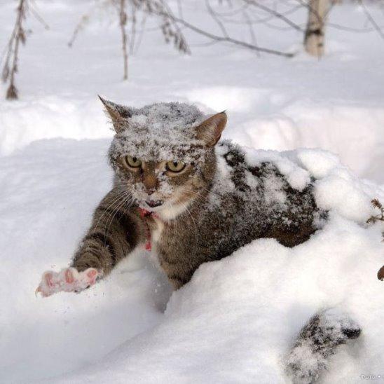 100 снежных котов (подборка)
