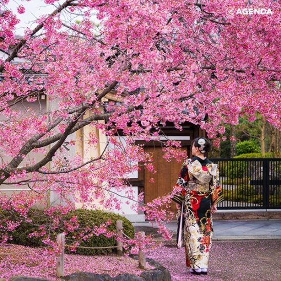 В Японии открывается сезон цветения сакуры