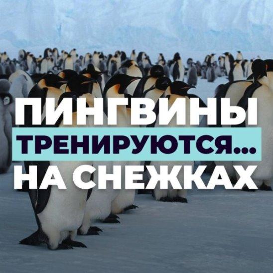 Пингвины тренируются... на снежках