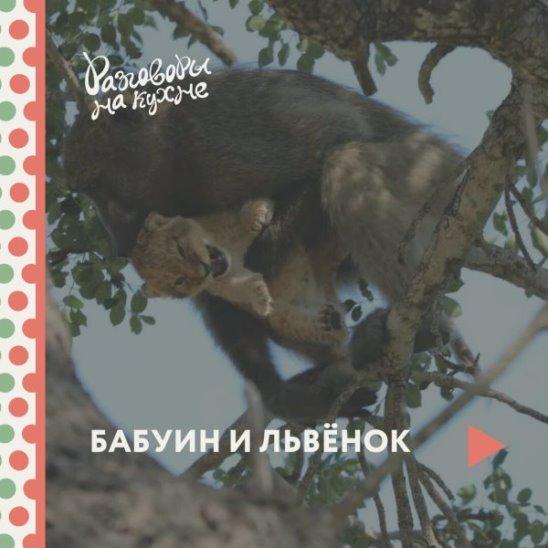 Бабуин и львёнок
