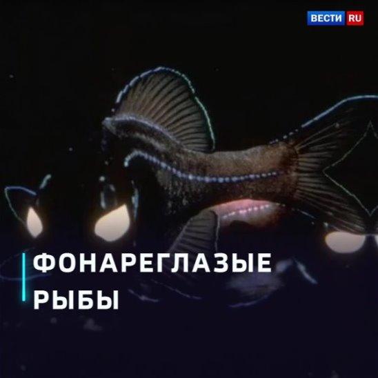 Фонареглазые рыбы