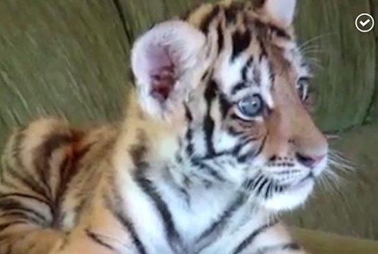 Скажите ему, что он тигр