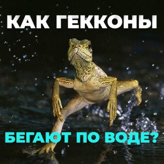 Как гекконы бегают по воде?