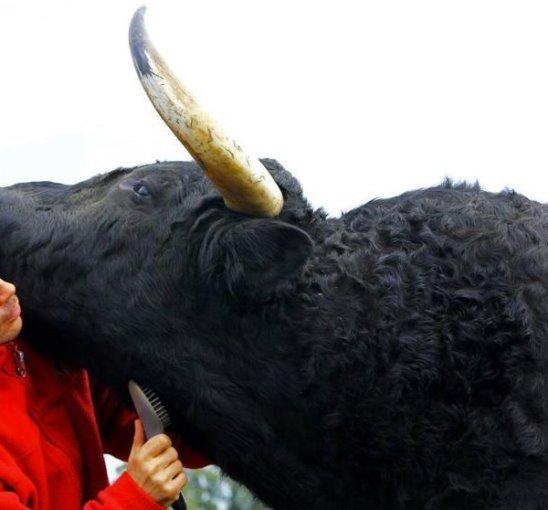 Посмотрите это видео и вы узнаете, какими любящими могут быть свирепые быки