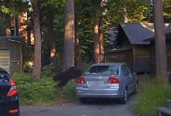 Американский полицейский со стрельбой вызволил из машины молодого медведя