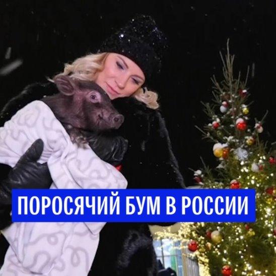 Поросячий бум в России