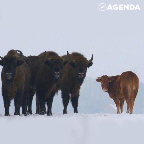 Корова-авантюристка