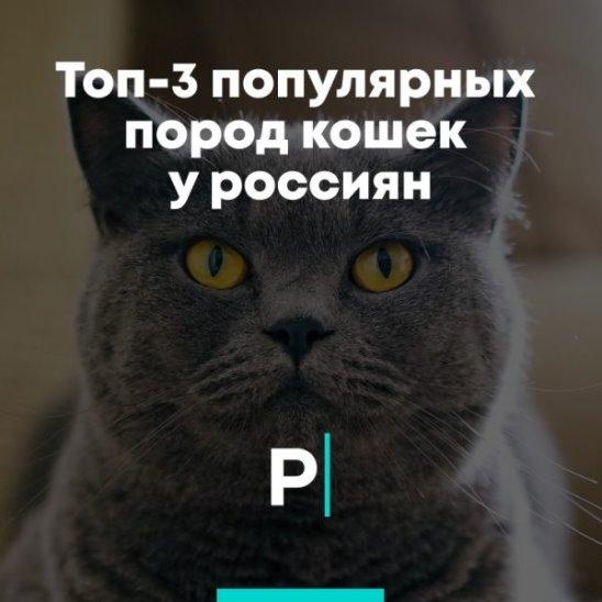 Топ-3 популярных пород кошек у россиян