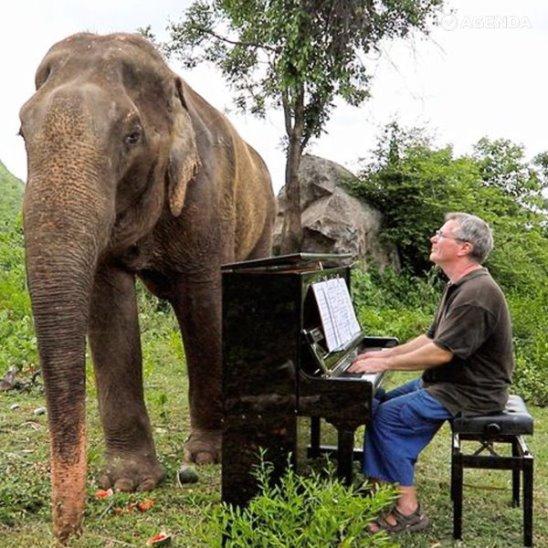 Пианист играет для больных слонов