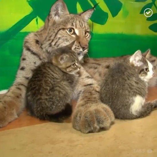 Рысь стала приемной мамой для котят