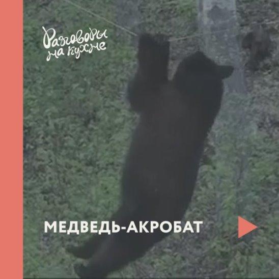 Медведь-акробат