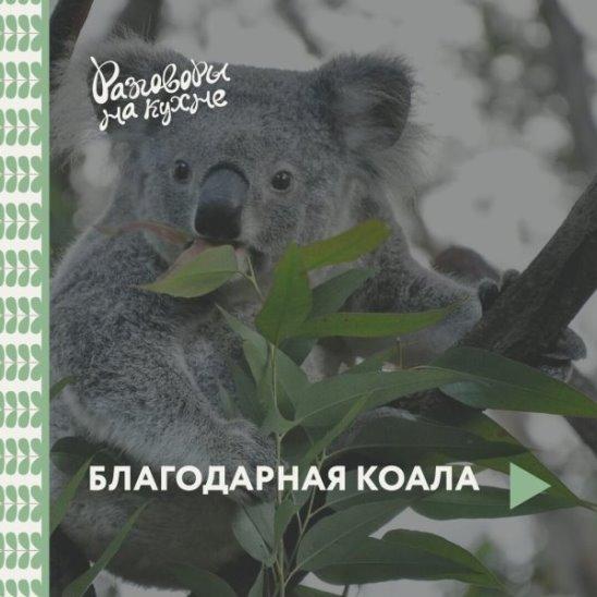Благодарная коала