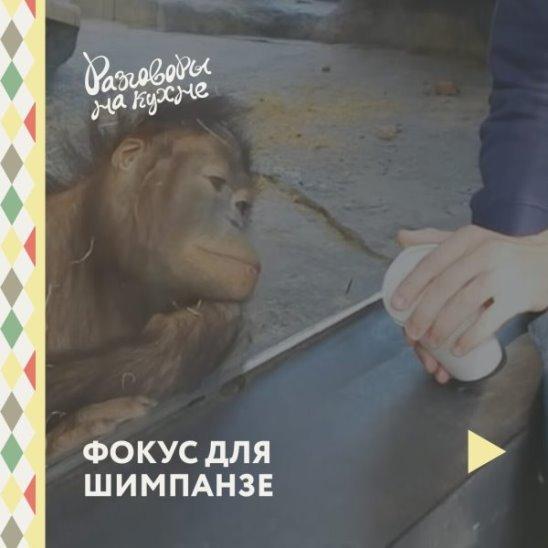 Фокус для шимпанзе