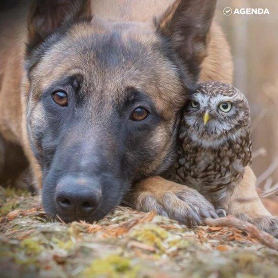 Удивительная дружба овчарки и совы