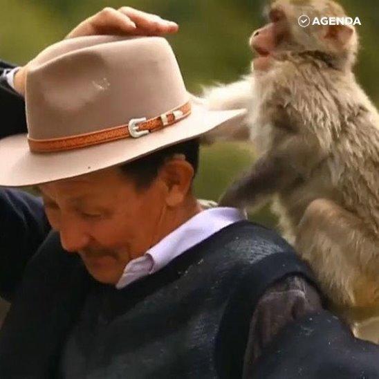 Добрый дедушка спас тибетских макак от исчезновения. Посмотрите, как они любят своего «папу»