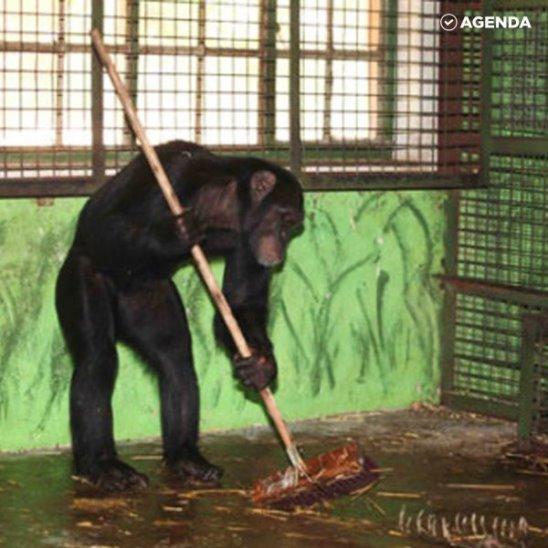 Шимпанзе-уборщики