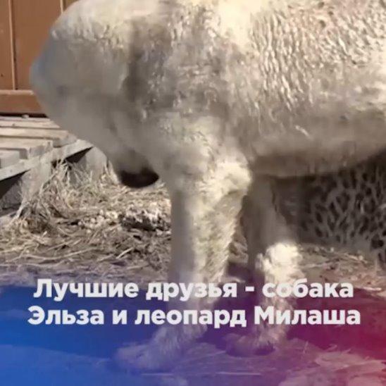 Лучшие друзья - собака Эльза и леопард Милаша