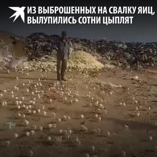 Сотни цыплят вылупились на свалке