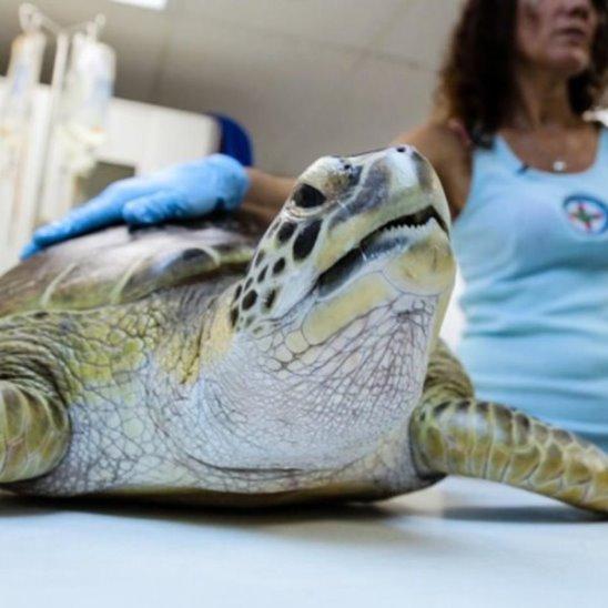 1000 человек собрались посмотреть, как спасают черепах