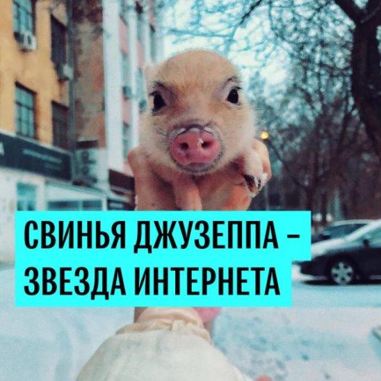 Свинка Джузеппа - звезда интернета