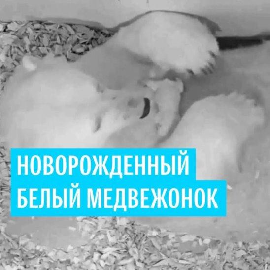Новорожденный белый медвежонок
