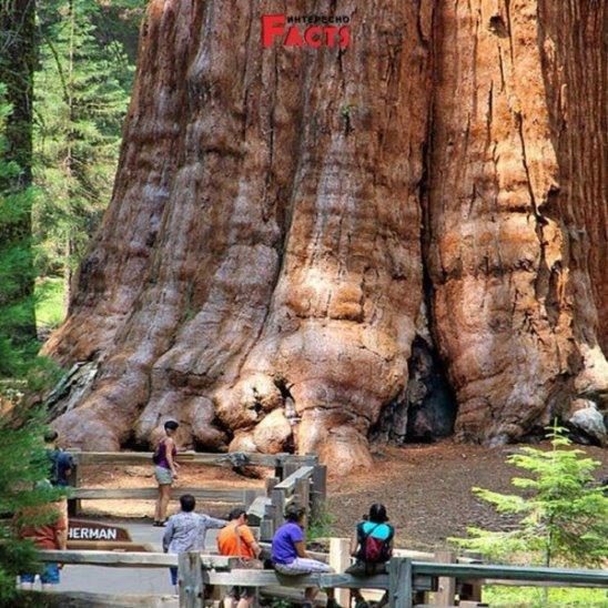 Генерал Шерман - самое большое дерево в мире!